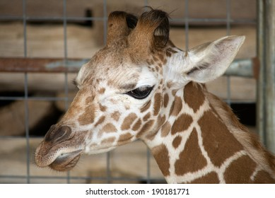 A baby giraffe in quarantine