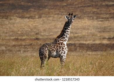 baby giraffe, Serengeti park, Tanzania