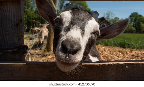 Baby Goat - Kid Closeup Face Looking Through Fence - Macro