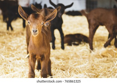Baby goat looking