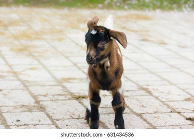 Baby goat on a Bavarian farm in Spring.