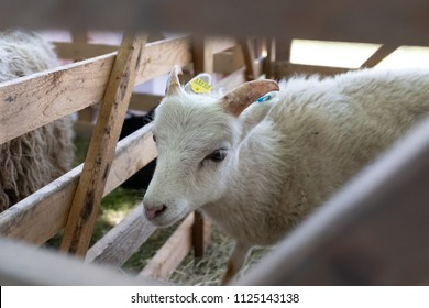 Baby goat in pen with ear tag