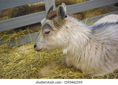 baby goat resting young animal farm  in enclosure
