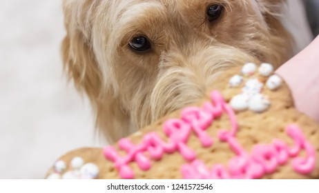 Baby Goldendoodle's first birthday - getting a close up sniff of the birthday bone