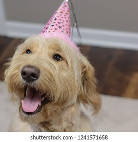Baby Goldendoodle's First Birthday - Looking off to the side