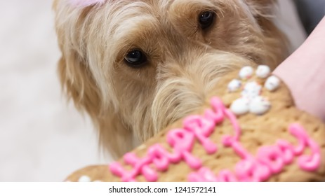 Baby Goldendoodle's First Birthday - Sneaking a sniff of the birthday bone