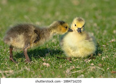 A baby Goose gets a mouthful of downy feathers as it nips on its sibling.