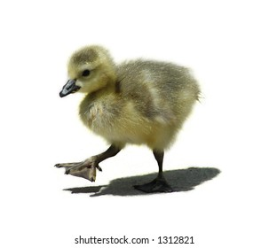 baby goose walking (white background for text)