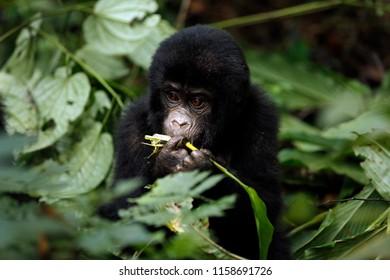 Baby Gorilla (Gorilla beringei beringei) Feeding. Bwindi Impenetrable National Park, Uganda