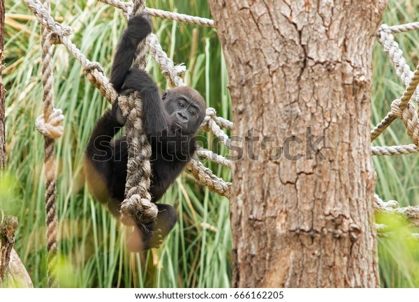 Baby Gorilla climbing down a rope with a natural background