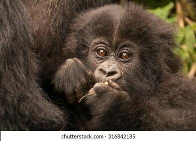 Baby gorilla held by mother chews branch