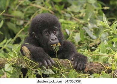 A baby gorilla in the jungle in Rwanda