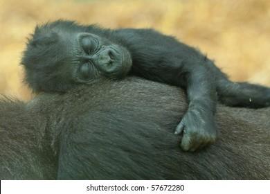 baby gorilla sleeping