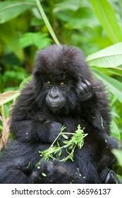 Baby gorilla in Volcano National Park in Rwanda