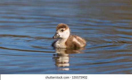 baby gosling swimming