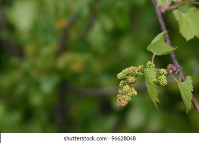 Baby Grapes  V - Shallow depth of field study of grapevines with baby grapes and flowers of a tree which supports the vines