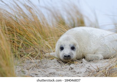 A baby gray seal in front of beach grass photographed on a small island next to Helgoland.