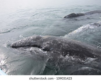 A baby Gray Whale climbs on its mother to rest in a lagoon in Baja, Mexico.