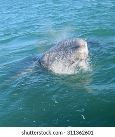 A baby gray whale lunges at a boat in a Mexican lagoon.