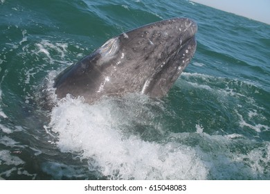 A baby gray whale lunging in a Mexican lagoon,