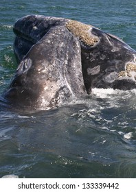 A baby gray whale nuzzles its mother in a sanctuary lagoon in Baja Mexico
