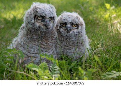 Baby Great Horned Owl (Bubo virginianus), also known as the tiger owl is a large owl native to the Americas.