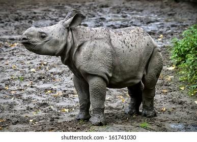 Baby Greater One Horned Rhinoceros