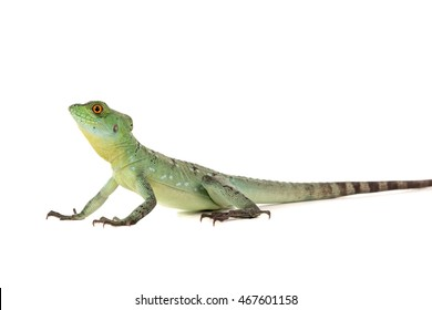 Baby green basilisk isolated in a white background