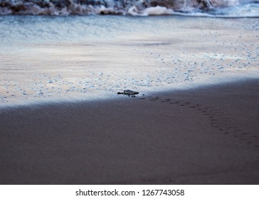 Baby Green Sea Turtle (Chelonia mydas) spotted outdoors