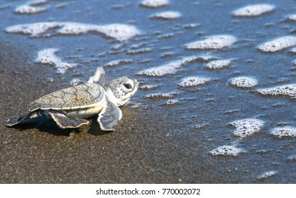 A baby green sea turtle (Chelonia mydas) heads for the ocean after emerging from its nest on the beach. Tortuguero National Park, Costa Rica.