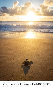 Baby green sea turtle making its way down to the water for the first time on the beach in Florida