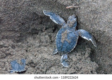 A baby green turtle (Chelonia mydas) crawling from the nest to the ocean in Tortuguero National Park in Costa Rica