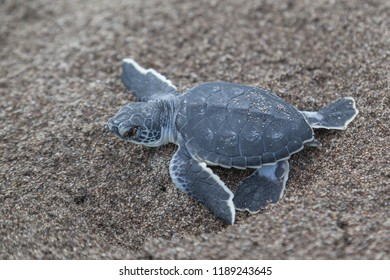 A baby green turtle (Chelonia mydas) crawling to the ocean on the beach in Tortuguero National Park in Costa Rica.