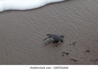 A baby green turtle (Chelonia mydas) crawling to the ocean on the beach with tracks on the sand in Costa Rica.
