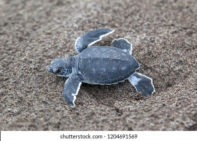 A baby green turtle (Chelonia mydas) crawling to the ocean on the beach in Costa Rica.
