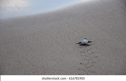 Baby Green Turtle running towards the sea after hatching.