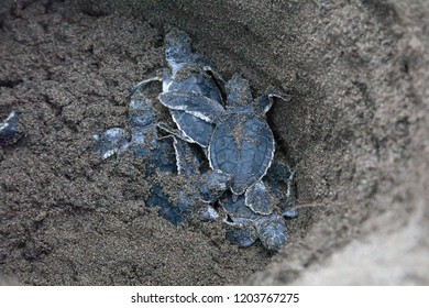 Baby green turtles (Chelonia mydas) in the nest and ready to crawling to the ocean in Costa Rica.