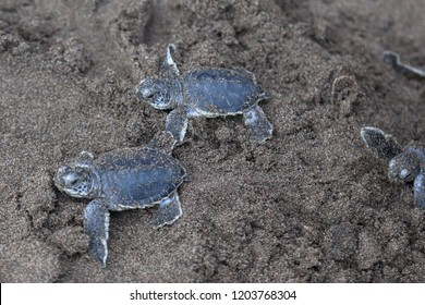 Baby green turtles (Chelonia mydas) crawling to the ocean on the beach beside a foot print in Costa Rica.