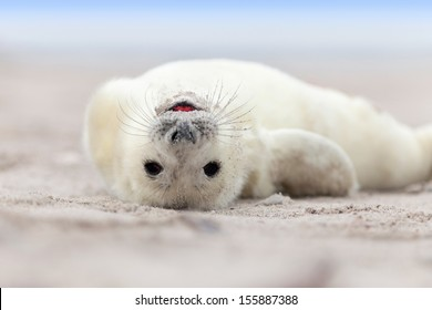 Baby Grey Seal (Halichoerus grypus) Relaxing headlong on the Beach
