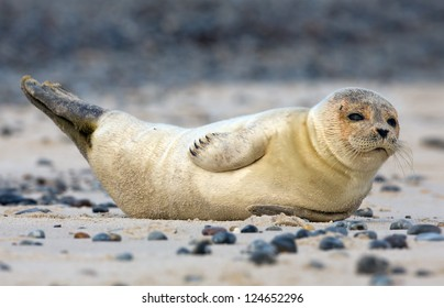Baby grey seal lying on sand