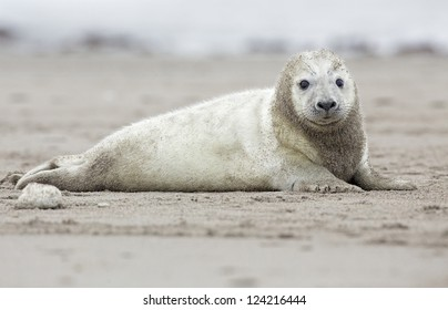 Baby grey Seal on the beach