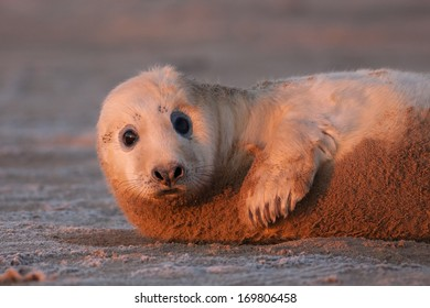Baby Grey Seal pup (Halichoerus grypus) at sunrise on a cold winter frosty morning on the Lincolnshire coast, UK