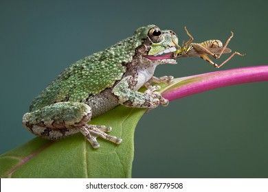 A baby grey tree frog has captured a grasshopper and is eating it.