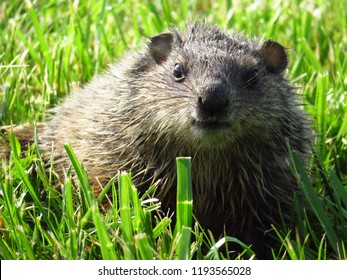 A baby groundhog (Marmota monax, woodchuck) sits in a field of grass in spring and looks at the camera lens.