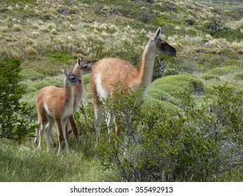 Baby Guanaco / Baby Lama