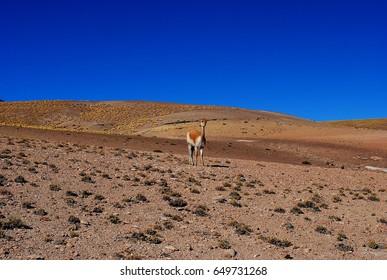 Baby guanaco, north Chile