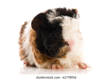 baby guinea pig isolated on the white