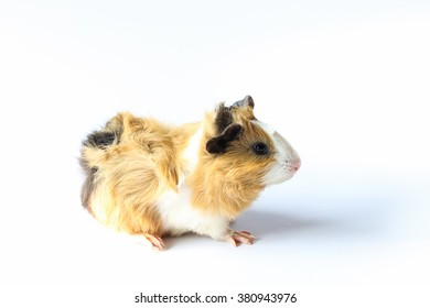 Baby guinea pig on white background, A popular household pet.