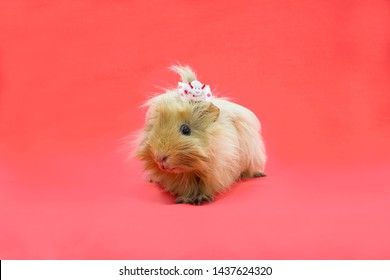 baby guinea pig in pink background. space for text.
