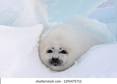 Baby Harp Seal Magdalen Islands